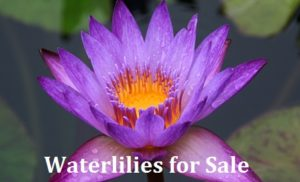 Waterlilies for Sale