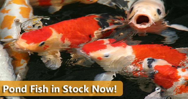 Pond Fish, Koi, Rochester New York