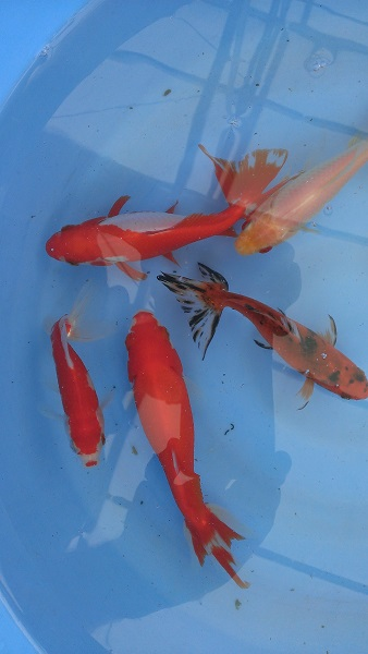 Outstanding selection of new koi and wakin bergen water for Rare koi colors
