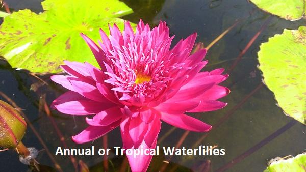 Tropical Waterlilies Bergen Water Gardens