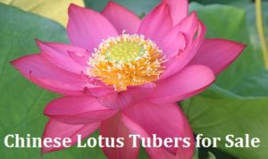 Chinese Lotus Tubers for Sale