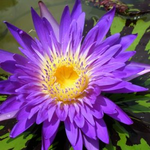 Nymphaea Blue Aster