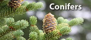 New-Conifers-Rochester