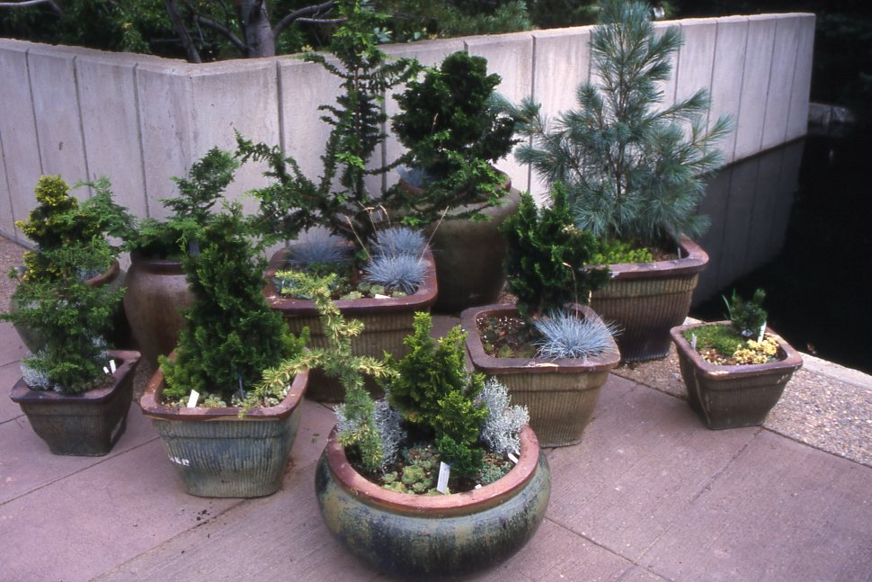 dwarf conifers around your pond amp in your garden bergen