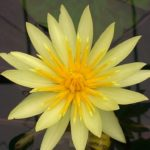 Yellow Tropical Waterlily