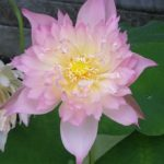 Lanceolate Pink lotus