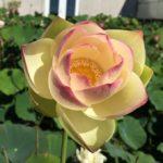 Yixian Lotus