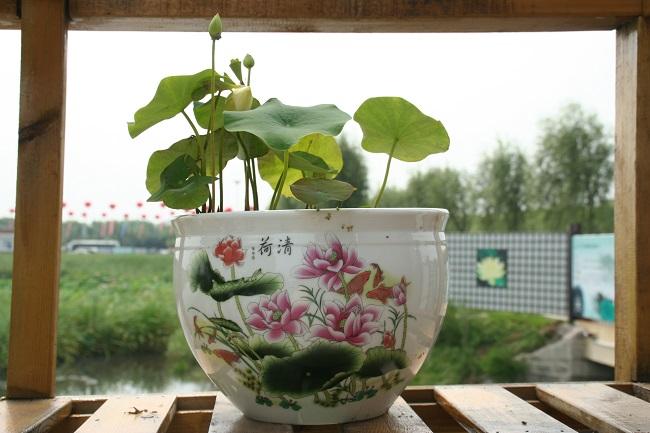 Chinese Bowl Lotus