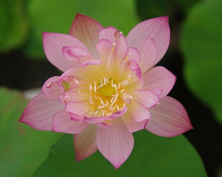 Crane Bowl Lotus