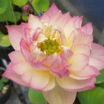 Lovebird Lotus