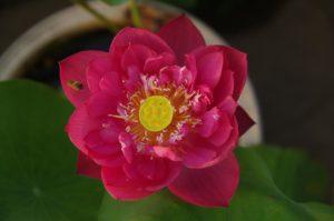 Purple Fairy 6 Lotus