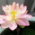 Stunning #8 lotus