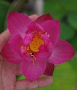 Purple Fairy 2 Lotus