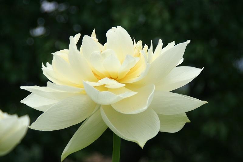 lotuspeony Avatar