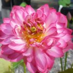 Red Lantern Lotus
