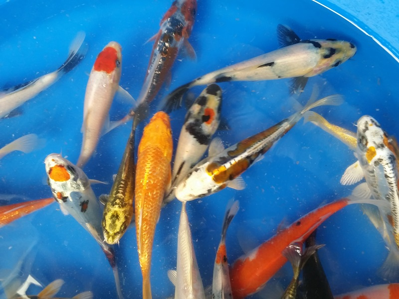 Premium koi bergen water gardens lotus paradisebergen for Koi fish predators