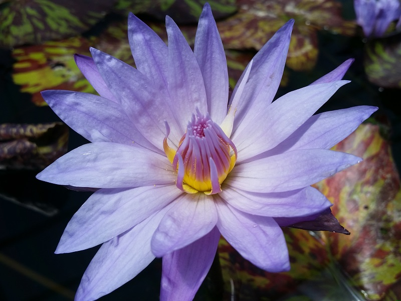 Nymphaea star of siam bergen water gardens lotus for Lotus plant for sale