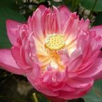 Pretty Woman Lotus