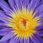 Purple Tropical Waterlily