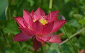 Chinese Red Shanghai Lotus
