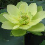 Lotus Green