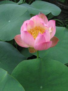 Little Spirits lotus