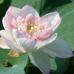 Buddha Seat Lotus 13