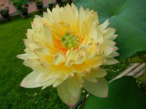 New Orange Loquat Lotus