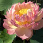 Lotus Lantern Lotus