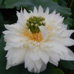 White Chrysanthemum Lotus