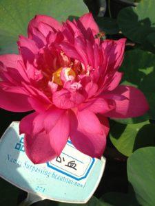 Heart Blood Lotus
