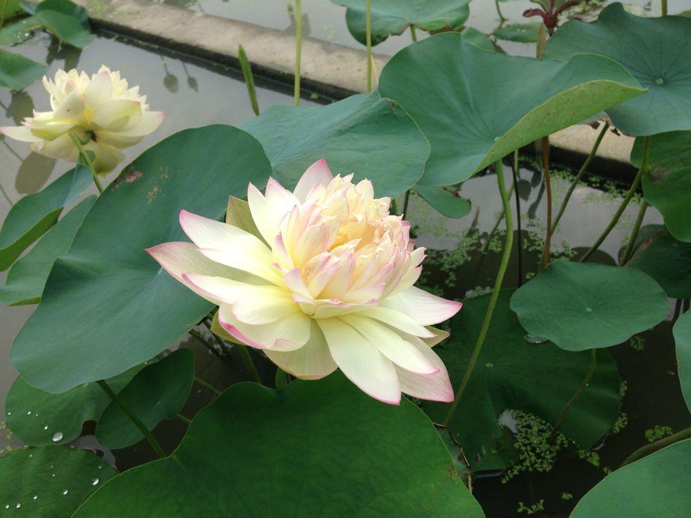 New orange loquat lotus bergen water gardens lotus for Lotus plant for sale