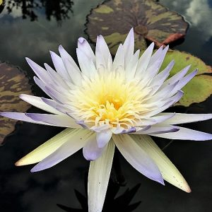 Avalanche waterlily