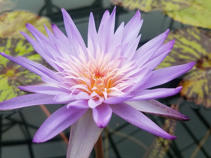Foxfire waterlily