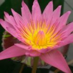 Pink Tropical Waterlily