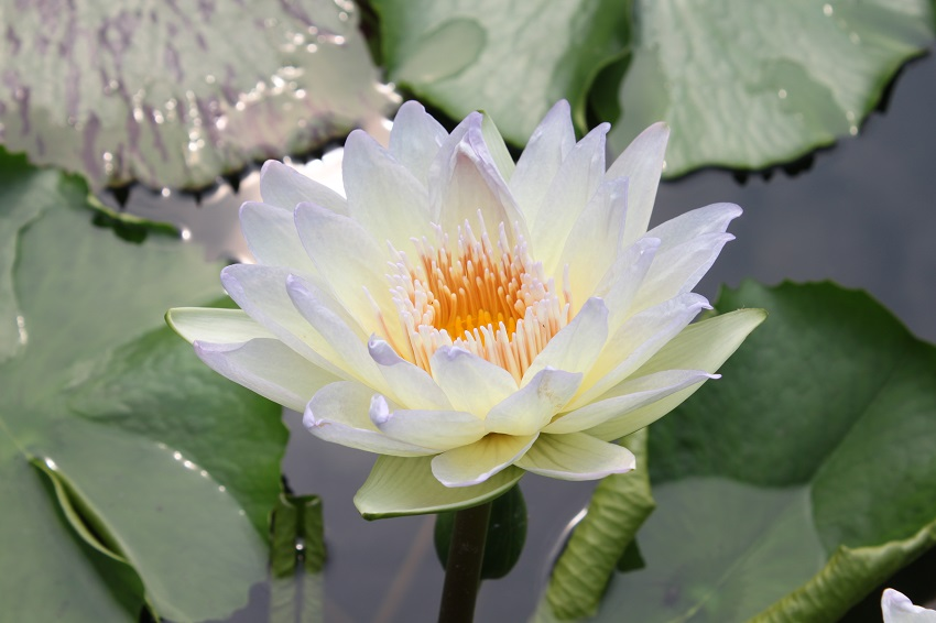 Nymphaea moonbeam bergen water gardens lotus for Lotus plant for sale