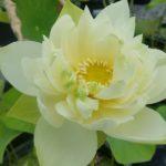 Oriole Lotus