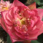 Resplendent Lotus