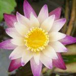 Purple Joy Waterlily