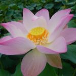 Blooming Lotus