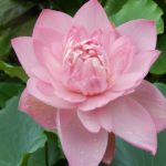 Drunken Jade-Town lotus