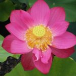 Chinese Red Xibeipo lotus