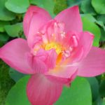 Sparks Lotus