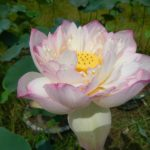 Large Beauty Lotus