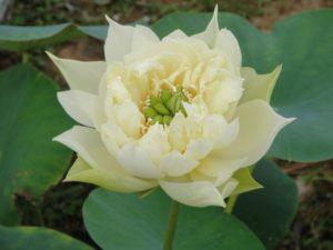 Snow-white Fragrant Sea lotus