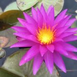 Special Waterlily