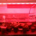 Waterlily Seedlings