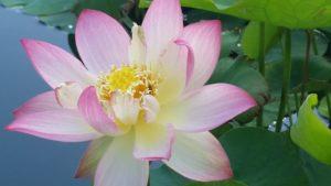 Graceful Guanyin lotus at Lili's Playground