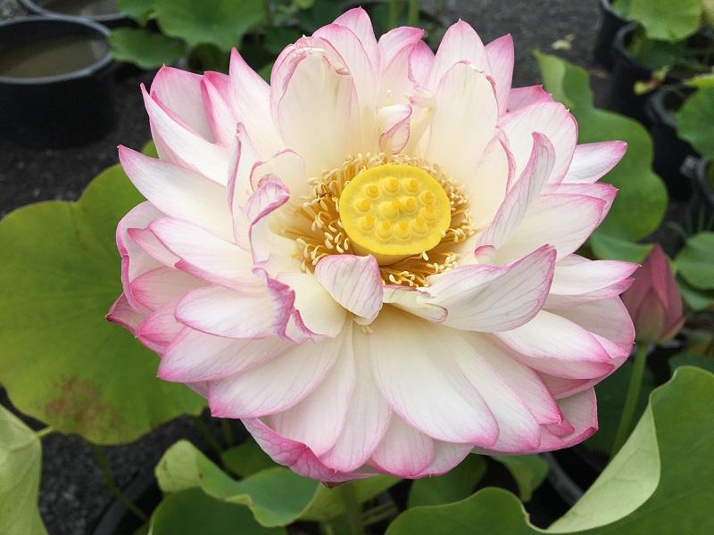 Drunk Cloud Lotus