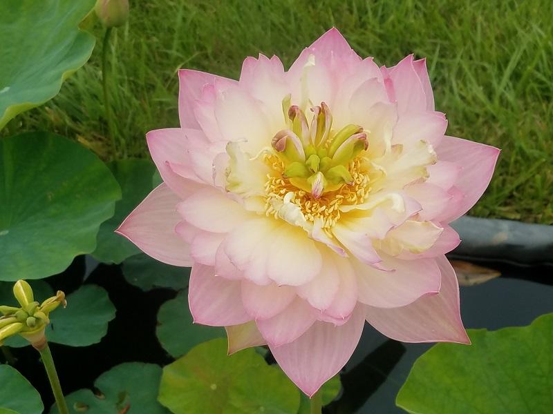 Emilia Lotus